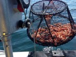 catching lobster with the power hauler